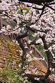 100316悠遊在櫻花的最高殿堂:阿里山櫻花:_DSC0577.JPG