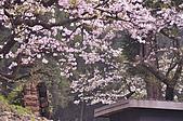 100316悠遊在櫻花的最高殿堂:阿里山櫻花:_DSC0526.JPG