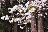 100316悠遊在櫻花的最高殿堂:阿里山櫻花:_DSC0456.JPG