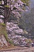 100316悠遊在櫻花的最高殿堂:阿里山櫻花:_DSC0527.JPG