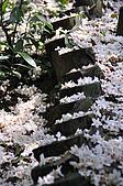 100419帶著相機去流浪:土城桐花公園的四月雪:_DSC1873.JPG