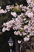 100316悠遊在櫻花的最高殿堂:阿里山櫻花:_DSC0457.JPG