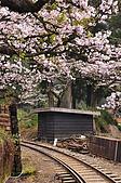 100316悠遊在櫻花的最高殿堂:阿里山櫻花:_DSC0578.JPG