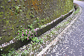 100419帶著相機去流浪:土城桐花公園的四月雪:_DSC1839.JPG