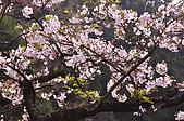 100316悠遊在櫻花的最高殿堂:阿里山櫻花:_DSC0459.JPG