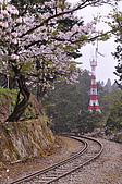 100316悠遊在櫻花的最高殿堂:阿里山櫻花:_DSC0529.JPG