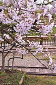100316悠遊在櫻花的最高殿堂:阿里山櫻花:_DSC0530.JPG