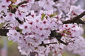 100316悠遊在櫻花的最高殿堂:阿里山櫻花:_DSC0532.JPG