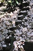 100419帶著相機去流浪:土城桐花公園的四月雪:_DSC1875.JPG