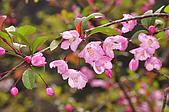 100316悠遊在櫻花的最高殿堂:阿里山櫻花:_DSC0461.JPG