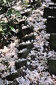 100419帶著相機去流浪:土城桐花公園的四月雪:_DSC1876.JPG