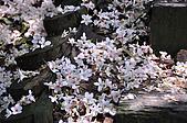 100419帶著相機去流浪:土城桐花公園的四月雪:_DSC1877.JPG
