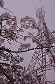 100316悠遊在櫻花的最高殿堂:阿里山櫻花:_DSC0483.JPG