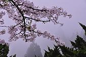 100316悠遊在櫻花的最高殿堂:阿里山櫻花:_DSC0533.JPG