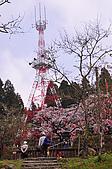 100316悠遊在櫻花的最高殿堂:阿里山櫻花:_DSC0463.JPG