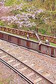 100316悠遊在櫻花的最高殿堂:阿里山櫻花:_DSC0534.JPG