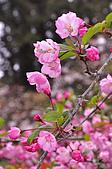 100316悠遊在櫻花的最高殿堂:阿里山櫻花:_DSC0465.JPG
