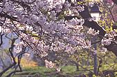 100317悠遊在櫻花的最高殿堂:阿里山櫻花:_DSC0738.JPG