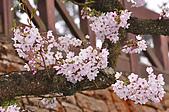 100316悠遊在櫻花的最高殿堂:阿里山櫻花:_DSC0581.JPG