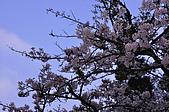 100316悠遊在櫻花的最高殿堂:阿里山櫻花:_DSC0654.JPG