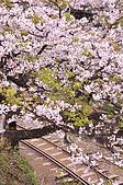 100316悠遊在櫻花的最高殿堂:阿里山櫻花:_DSC0538.JPG
