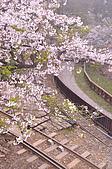 100316悠遊在櫻花的最高殿堂:阿里山櫻花:_DSC0539.JPG