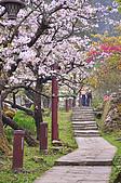 100316悠遊在櫻花的最高殿堂:阿里山櫻花:_DSC0656.JPG