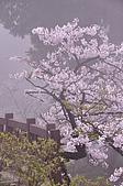 100316悠遊在櫻花的最高殿堂:阿里山櫻花:_DSC0540.JPG