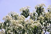 100419帶著相機去流浪:土城桐花公園的四月雪:_DSC1814.JPG