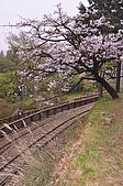 100316悠遊在櫻花的最高殿堂:阿里山櫻花:_DSC0541.JPG