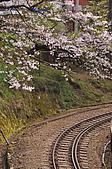 100316悠遊在櫻花的最高殿堂:阿里山櫻花:_DSC0584.JPG