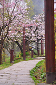 100316悠遊在櫻花的最高殿堂:阿里山櫻花:_DSC0659.JPG