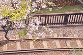 100316悠遊在櫻花的最高殿堂:阿里山櫻花:_DSC0542.JPG