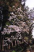 100317悠遊在櫻花的最高殿堂:阿里山櫻花:_DSC0742.JPG