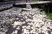 100419帶著相機去流浪:土城桐花公園的四月雪:_DSC1768.JPG
