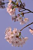 100317悠遊在櫻花的最高殿堂:阿里山櫻花:_DSC0745.JPG