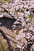 100316悠遊在櫻花的最高殿堂:阿里山櫻花:_DSC0543.JPG