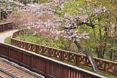 100316悠遊在櫻花的最高殿堂:阿里山櫻花:_DSC0586.JPG