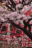 100316悠遊在櫻花的最高殿堂:阿里山櫻花:_DSC0470.JPG