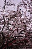 100316悠遊在櫻花的最高殿堂:阿里山櫻花:_DSC0485.JPG