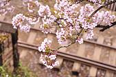100316悠遊在櫻花的最高殿堂:阿里山櫻花:_DSC0544.JPG