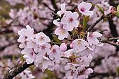 100316悠遊在櫻花的最高殿堂:阿里山櫻花:_DSC0545.JPG
