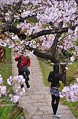 100316悠遊在櫻花的最高殿堂:阿里山櫻花:_DSC0661.JPG