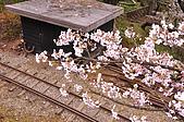 100316悠遊在櫻花的最高殿堂:阿里山櫻花:_DSC0546.JPG