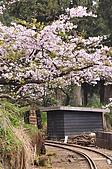 100316悠遊在櫻花的最高殿堂:阿里山櫻花:_DSC0589.JPG