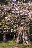 100317悠遊在櫻花的最高殿堂:阿里山櫻花:_DSC0748.JPG