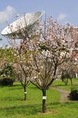 100312陽明山衛星站台附近的櫻花:_DSC0006.JPG