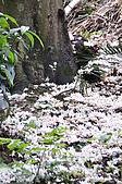 100419帶著相機去流浪:土城桐花公園的四月雪:_DSC1852.JPG