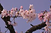 100317悠遊在櫻花的最高殿堂:阿里山櫻花:_DSC0749.JPG