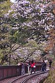 100316悠遊在櫻花的最高殿堂:阿里山櫻花:_DSC0473.JPG
